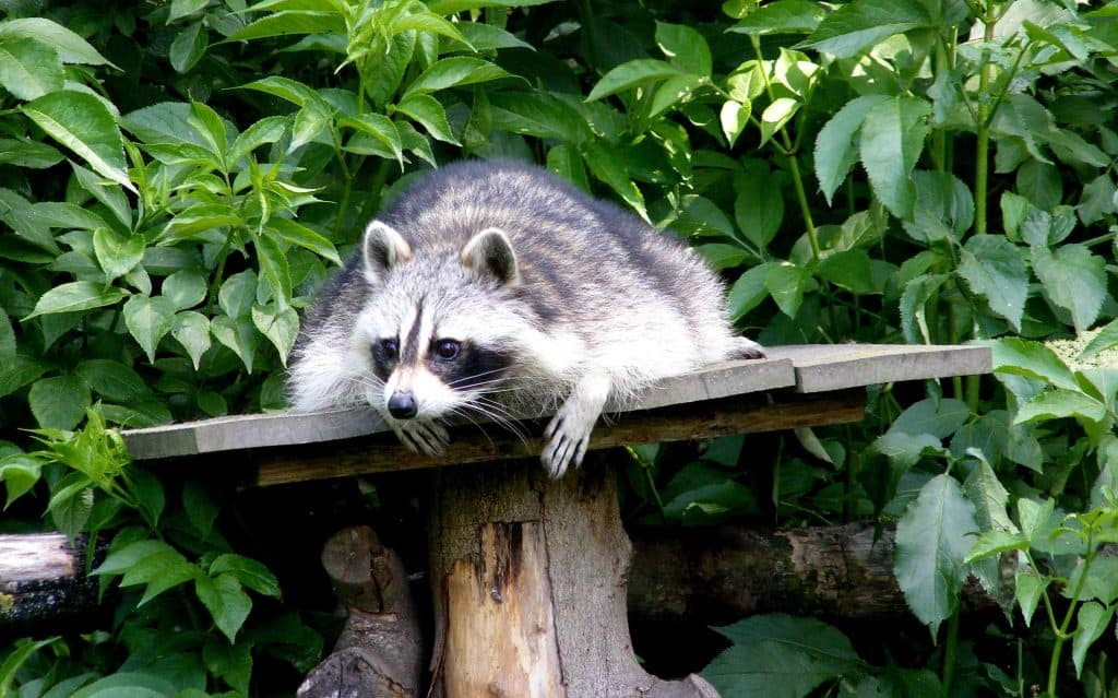 Plan to keep the raccoons out of your coop