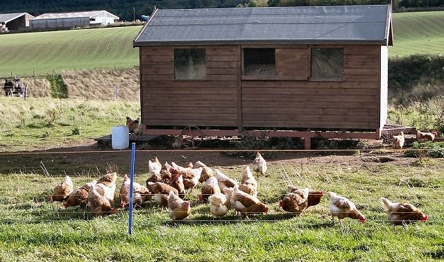 Protecting your hens when they are outside the coop