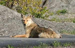 Keep coyotes away from your chickens by predator proofing your coop