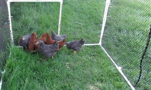 A portable chicken pen made from PVC and