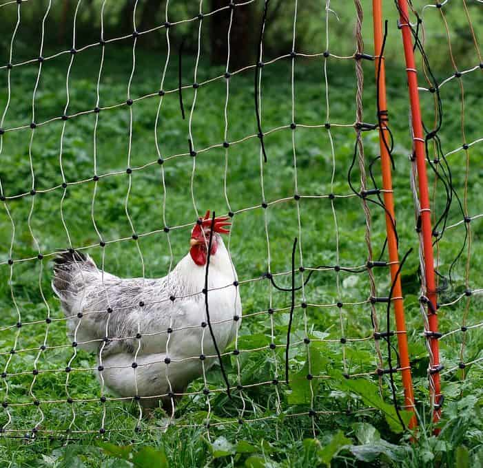 white chicken behind netting