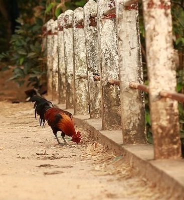 red chickens pecking the ground