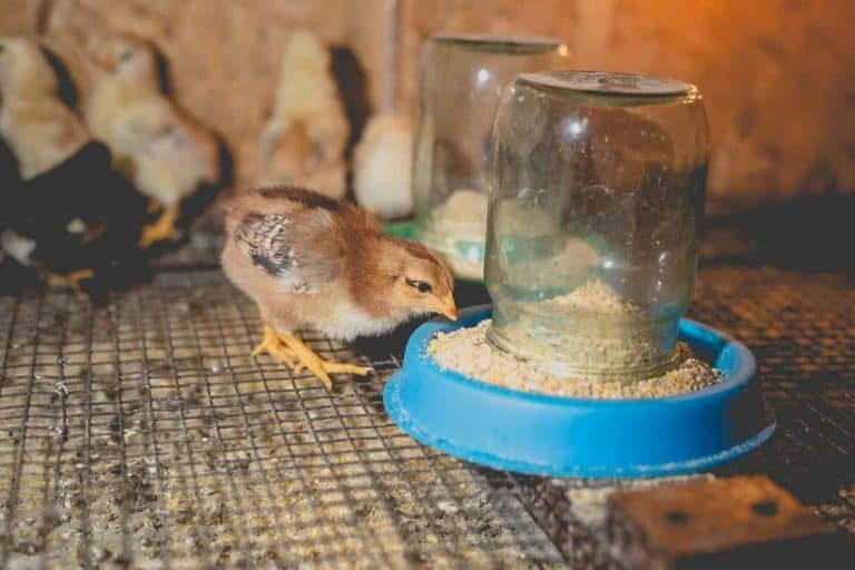 baby chicken inside brooder eating from the feeder