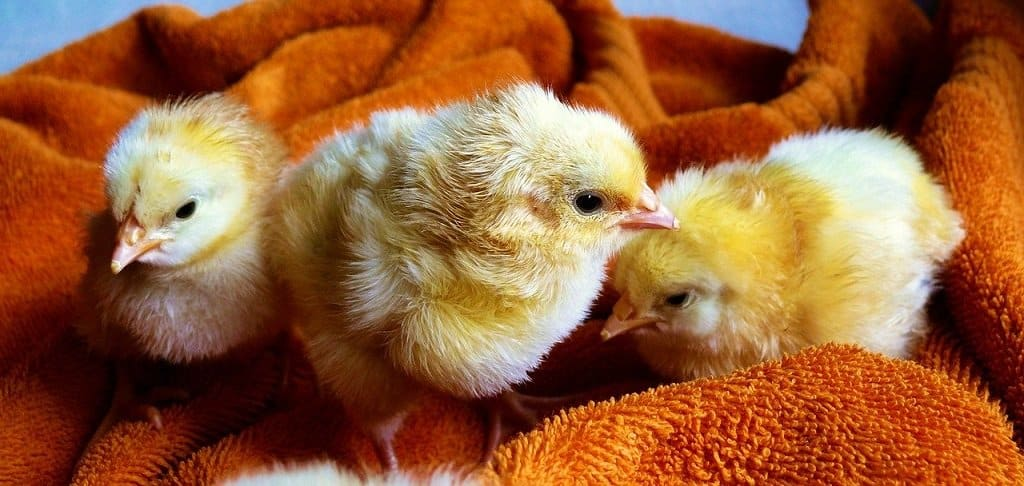 newly hatched baby chicks