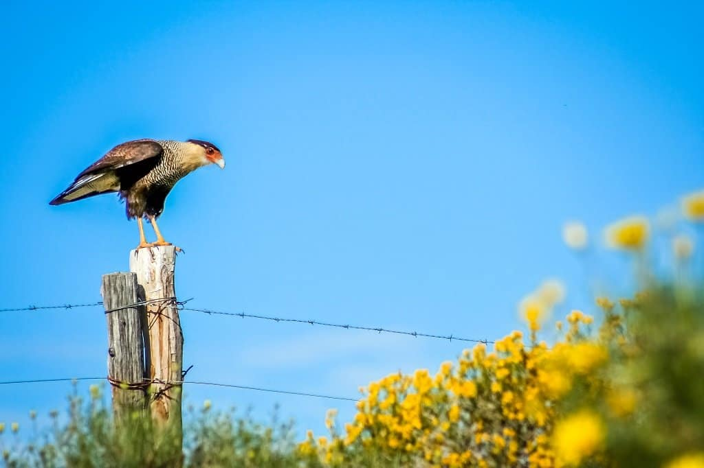 hawk perching on a fence