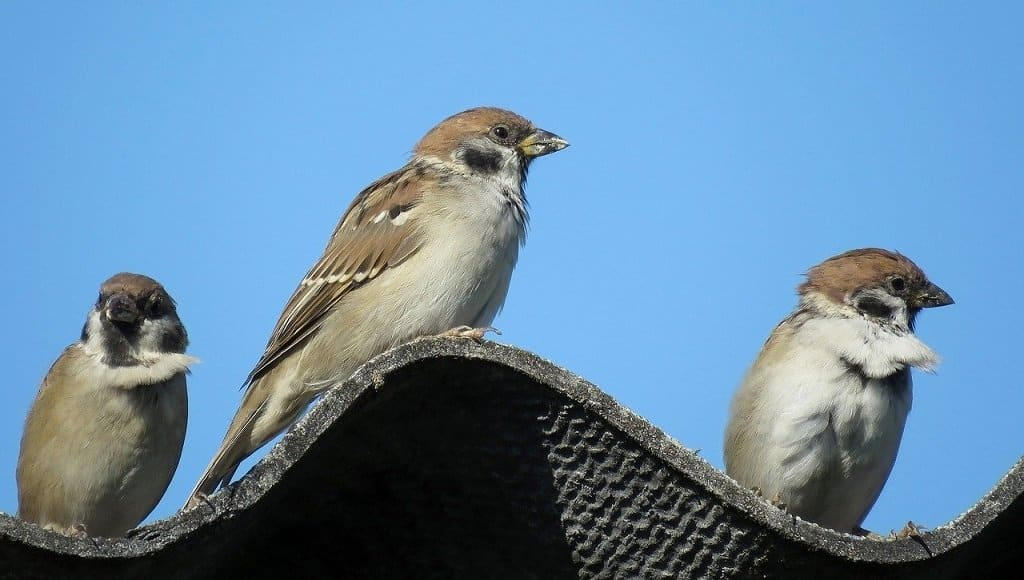 3 sparrows on the lookout for food