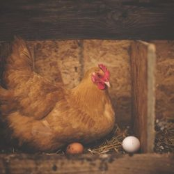 Nesting Boxes For Hens: How Big, How Many and Where to Put Them