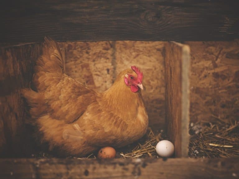 red chicken in her nesting box with two freshly laid eggs