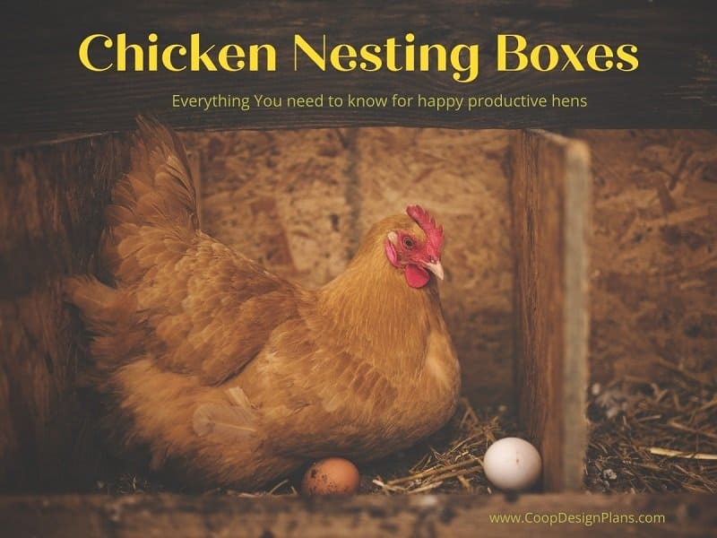 Title Chicken Nesting Boxes - Everything you need to know to have happy productive hens with red chicken in box with freshly laid eggs