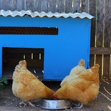 Building a Chicken Coop email Course