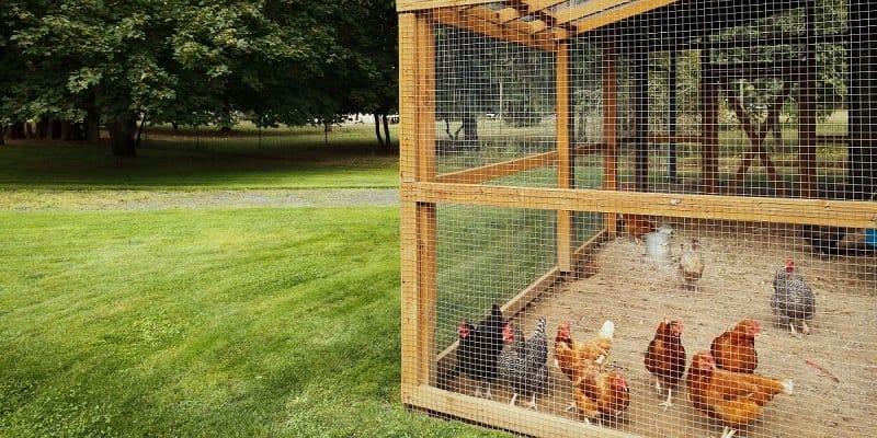 chickens-inside-6ft-screen-chicken-run