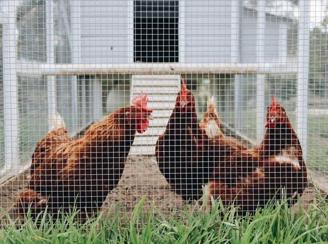 chickens in enclosure outside of white chicken coop