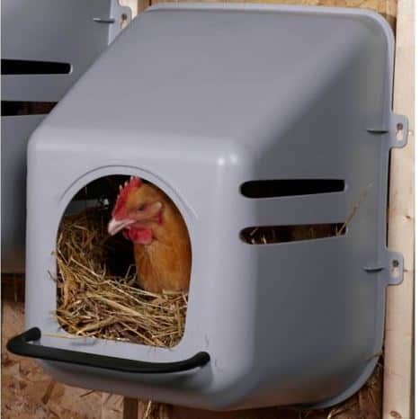 Chicken laying an egg inside a plastic nesting box