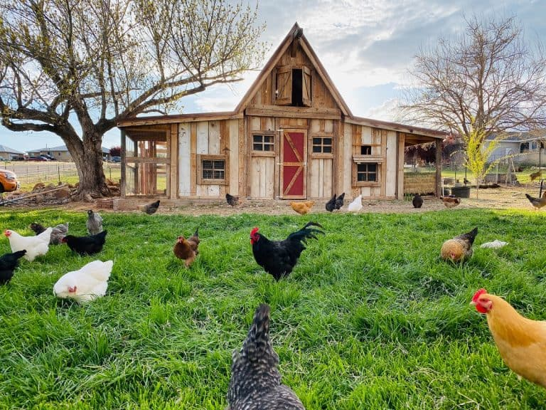 chickens foraging in front of a large walk-in chicken coop